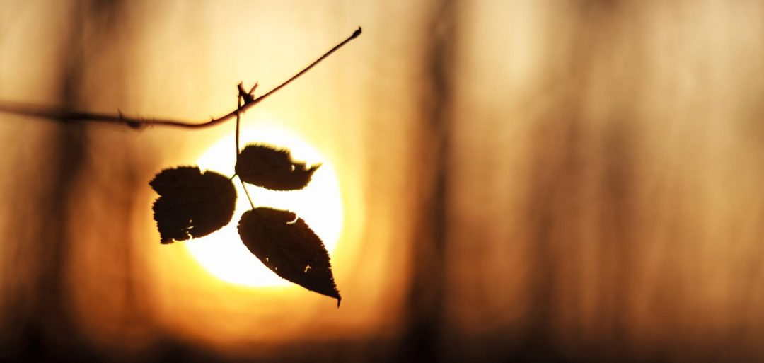 leaves in the fading sun